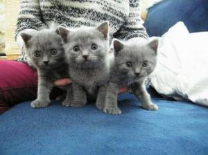 Superbe chatons Chartreux disponibles