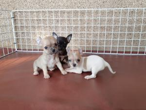 A DONNER: Chiots Chihuahua miniature