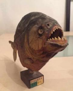 Piranha empailler du brazil