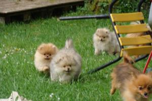 5 Adorable Spitz Allemand Nain,Pure Race