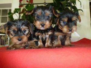 4 adorable chiots Yorkshire Toys Nains