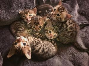 Donne chatons Bengale