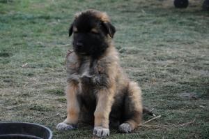 Estrela chien des montagnes du portugal
