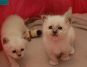 A DONNER: 2 chatons Siamois pure race DE 3 MOIS