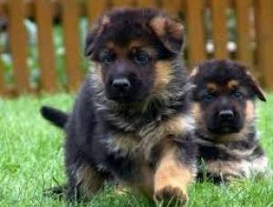 Chiots Berger Allemand pure race A DONNER.