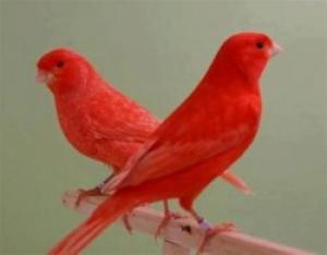 Des Couples des Canaris Rouges, Bagues