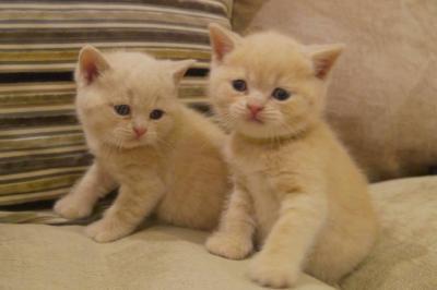DONNER chatons British shorthair male et femelle.