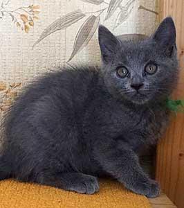 A réserver chaton Chartreux
