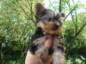 Yorkshire Terrier chiot! Aussi petites espèces