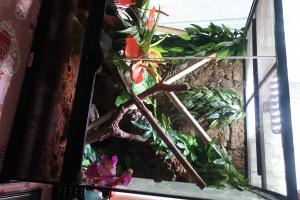 Gecko a crête + Terrarium