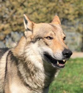 Chiots chien-loup tchécoslovaque