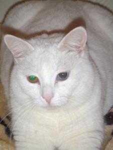 Chaton blanc aux yeux vairons