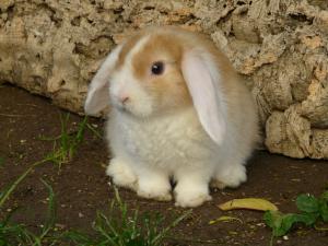 Magnifique lapine bélier