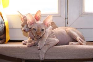 Donne Chatons Sphynx
