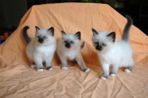 Donne chatons Sacré de Birmanie