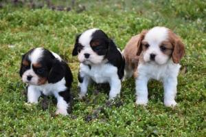 A DONNER: Chiot cavalier king charles À donner