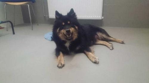 chien finnois de laponie ou Suomenlapiko
