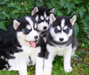 Disponibles «3 chiots husky sibérien