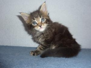 Chatons Maine Coon pure race a donner
