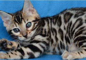 Adorable chaton bengal à donner