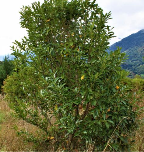 Laurelle du caucase 100 à 300cm en terre