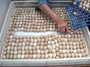 œufs de perroquet et perroquets oiseaux avec les poussins