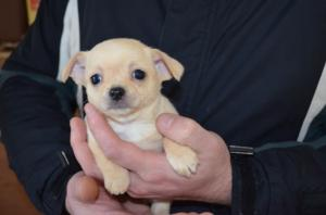A DONNER: Chiots Chihuahua