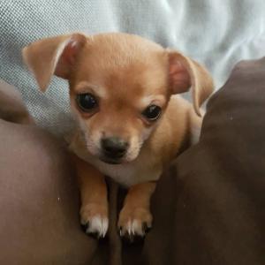 Mini Chihuahua mâle