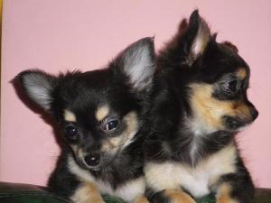 Chiots Chihuahua pure race mâle et femelle A DONNER