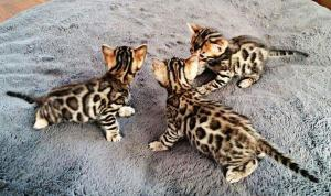 A DONNER / chatons bengal pure race male et femelle