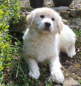 Chiot Golden retriever A Donner Pour Adoption