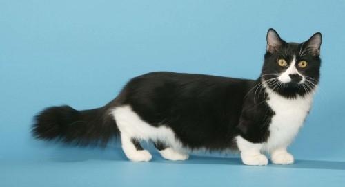 Bien-aimé Le Munchkin cat un chat qui a du chien.. : joomil.ch BO95