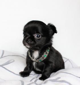 Chihuahua Mâle Lof