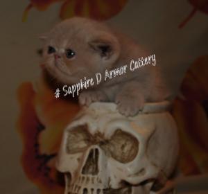 chaton mâle Créme Exotic Shorthair