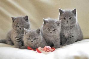 5 bébés chatons British Shorthair