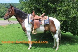 Pinto Paint Horse Wallach
