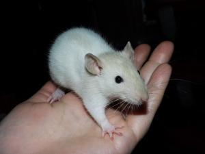A adopter bébés rats ratons mâles et femelles