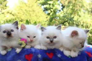 Adorables chatons type sacré de birmanie