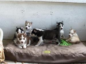 7 chiots Husky Sibérien lof