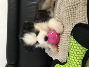 Husky femelle de 3 mois