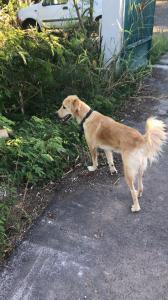 MARLEY, jeune chien croisé golden non lof