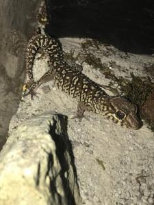 Paoedura Picta mâle de 4 ans