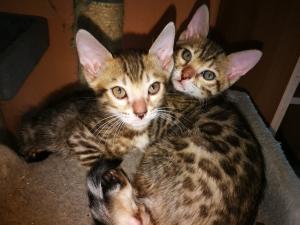 Chatons Bengal mâles et femelle A DONNER