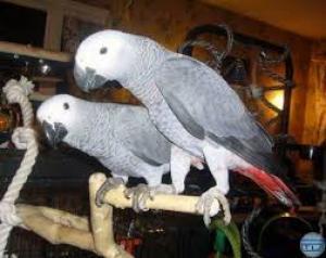 Adonner perroquet gris du gabon