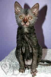 Chatons Lykoi Cat