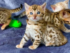 Adorable chaton bengal à donner