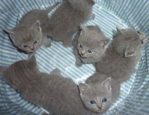 Chatons chartreux pure race A DONNER.