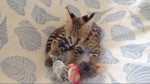Adorables chatons serval