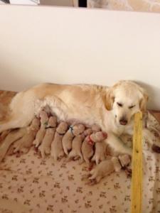 Chiots golden retriever nés le 02 mars