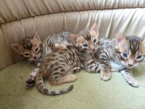A donner: Chatons Bengal pure race male et femelle.